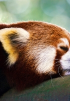 red panda, sleep, face