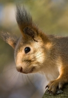 red, squirrel, ears