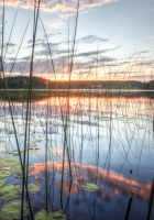 reed, stalks, water-lilies