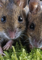 rodent, hamster, couple
