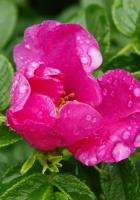 rose, bush, green