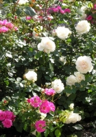 rose, different, bush