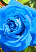 rose, flower, buds