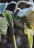 rose, flower, frosts