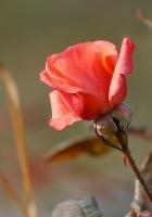 rose, flower, leaves