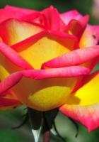 rose, flower petals, bud