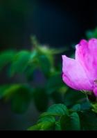 rose, shrub, flower