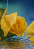 rose, yellow, petals