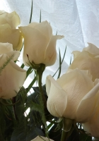 roses, bouquet, white