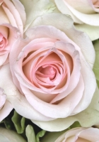 roses, buds, close up