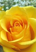 roses, buds, yellow