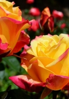 roses, flowers, flowerbed