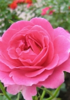 roses, flowers, flowing