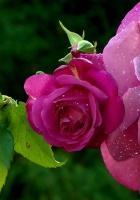 roses, petals, leaves