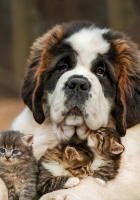 saint bernard, dog, kitten