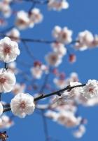 sakura, branch, sky