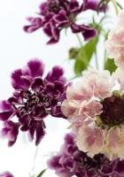 scabious, flowers, bouquet