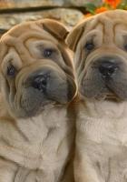 shar pei, puppies, couple