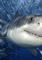 sharks, fish, underwater