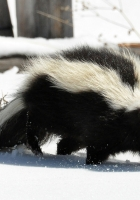 skunk, snow, trail