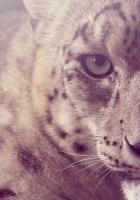 snow leopard, glare, light