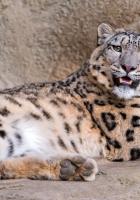snow leopard, stones lie, teeth