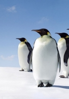 snow, penguins, walk