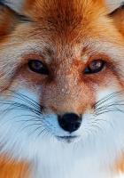 snow, winter, fox