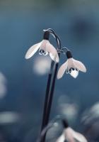 snowdrop, primrose, flowers