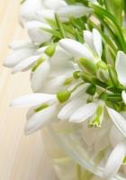 snowdrops, flowers, primrose