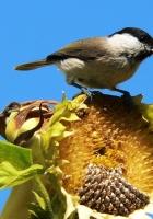 sparrow, bird, sunflower