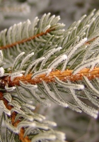spruce, needles, black