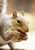 squirrel, animal, food