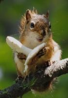 squirrel, mushroom, food