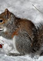 squirrel, snow, berry