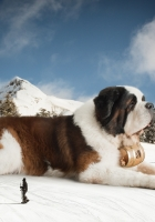 st bernard, huge, snow