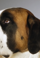 st bernard, muzzle, dog