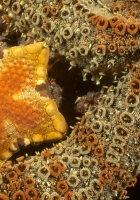 starfish, underwater, water