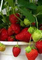 strawberry, pot, berry