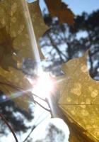 sun, light, leaves
