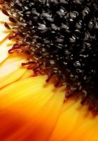sunflower, flower, orange