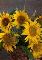 sunflowers, corn, mountain ash