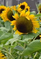 sunflowers, green, hats