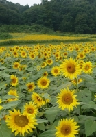 sunflowers, many, field