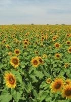 sunflowers, many, summer