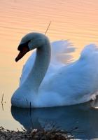 swan, lake, sunset