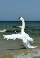 swan, wings, bird