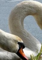 swans, birds, beak