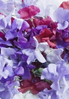 sweet pea, colorful, bouquet