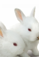 sweet, white, rabbit